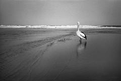 pelicans, Long Reef  #114 (lynnb's snaps) Tags: 2014 35mm d76 hp5 iso800 longreef xa bw beach birds film nature ocean pelican rangefinder noiretblanc blackandwhite pelicans ilford