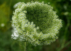 Look inside (pilechko) Tags: lakeplacid adirondacks ny flower weed queenanneslace carrotflower wildcarrot budding opening color green bokeh