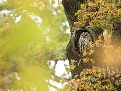 Waldkauz (Strix aluco) (Chris Nature) Tags: eule kauz vogel bird nature park mnchen bayern naturfotographie herbst autumn gelb braun rot grn bokeh wald kastanie