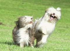 why are you laughing (friedrichfrank1966) Tags: hunde play spielen lachen meadow wiese oktobr dogs beardies jollyjokers laughing