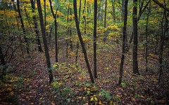 The woods are lovely, dark and deep. . . (mswan777) Tags: tree leaf michigan nature autumn fall woods peaceful sigma 1020mm nikon d5100 yellow color season rain scenic