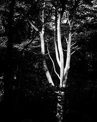 Shadows and Light BW (JodBart) Tags: woodlandtrust billinge wigan trees green shadows light fuji manuallens