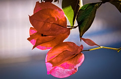 Bougainvillea (http://fineartamerica.com/profiles/robert-bales.ht) Tags: arizona bougainvillea foothills forupload haybales people photo places plants projects states plant garden nature flower tropical outdoor summer isolated spring pink beautiful leaf petal green decoration blossom bush blooming floral colorful foliage beauty bright flora decorative climate red ornamental stem botany tree branch elegance macro tropicalclimate lavendula pinkflower white vibrantcolor plinkflower decorativeborder botanical bloom mediterranean evergreen robertbales iphone thorns backlighting