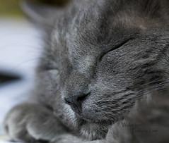 Smokey cat sleep 8216PatriciaLam (Studio5301) Tags: cat kitty graycat photoofacat sleepingcat tiredcat catwitheyesclosed patricialam studio5301 feline portraitofacat