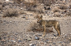 Silent coyote in the desert (PeterThoeny) Tags: deathvally coyote canislatrans day desert california hdr 1xp raw nex6 sel55210 photomatix outdoor qualityhdr qualityhdrphotography animal wildanimal fav100