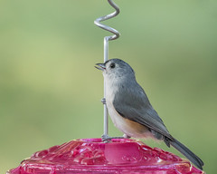 #142 Same Subject - Different Lighting (2 of 2)  1Z9A9596 (DCLbyrdnyrd) Tags: tufted titmouse songbird