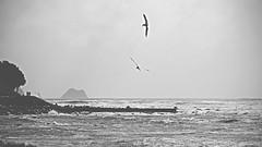 soar (Paul J's) Tags: newplymouth taranaki coastal landscape coastalwalkway tasmansea seagulls