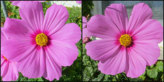 Cosmos 22 October 2016 16 1424-1441 (edgarandron - Busy!) Tags: plants flower flowers cosmos