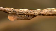 flecknoe 04082008-07 (Walwyn) Tags: caddis fly trichoptera