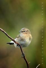 Common Chiffchaff (Babar@Graphy) Tags: warbler common chiffchaff branch bird birding cute nature wild wildlife lahore pakistan asia punjab nikon winters