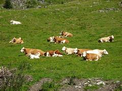 Pllatal, Katschberg 2016-047 (suppenlaender) Tags: sterreich krnten salzburg alpen katschberg katschberghhe berge natur austria pllatal kuh khe cow wiese rind
