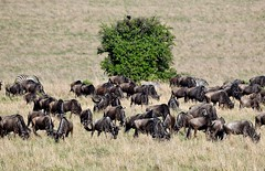 Wildebeest Migration grazing in the Masai Mara reserve - Slowly migrating southwards. (One more shot Rog) Tags: wildebeests mass graaslandsgame drives gnugnuswildebeestsafarimigrationwildebeestmigration masaimara marariver herds herd wildlife savannah crossing wildbeest