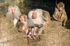 2016-10-23-10h43m21.BL7R3705 (A.J. Haverkamp) Tags: canonef100400mmf4556lisiiusmlens amersfoort utrecht netherlands zoo dierentuin dierenparkamersfoort httpwwwdierenparkamersfoortnl thenetherlands mantelbaviaan papiohamadryas hamadryasbaboon nl