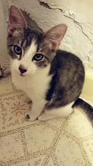 2015- Violet 02 (teresamarkos) Tags: violet cat cats kitten kittens felines feline