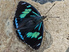 Perisama vitringa ochreipennis  A. Butler, 1873 (PriscillaBurcher) Tags: perisamavitringaochreipennisabutler1873 perisamavitringaochreipennis perisamavitringa perisama lepidoptera nymphalidae mariposasdecolombia butterfliesfromcolombia brushfootedbutterfly l1830218