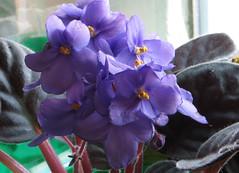 1-IMG_1527 (hemingwayfoto) Tags: balkon blhen blte blau blume floristik natur topfpflanze usambaraveilchen zierpflanze zuchtform