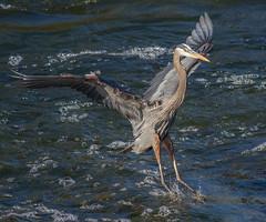 IMG_2464 Great Blue Heron (cmsheehyjr) Tags: cmsheehy colemansheehy nature wildlife bird heron greatblueheron richmond virginia jamesriver ardeaherodias