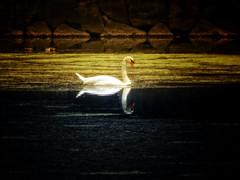 Reflect... (/\ltus) Tags: tokyo japan swan moat imperialpalace sony dschx80 720mm megazoom pocketcamera nothdr