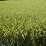 Rice Plant Field thumbnail