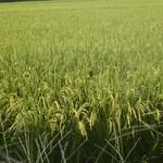 Rice Plant Field thumbnail