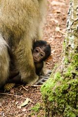 Singe Magot et nouveau n (Kaya.paca) Tags: singe macaque magot montagne fort nouveaun pluie alsace france mammifre animaux nature extrieur canon