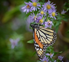 Pit stop (Kreative Capture) Tags: purple aster wildflowers monarch butterfly migrate texas plant wings orange white nikon nikkor d7100 outdoor flowers state insect