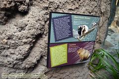 110416-023 (leafworks) Tags: chroniclesofsirthomasleaf colorado milehigh princecian denver zoo denverzoo animals capybara co usa 01