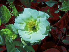Bzzzzzzzz! (maginoz1) Tags: flower flora abstract art manipulate curves bullarosegarden rose bulla melbourne victoria australia spring november 2017 canon g16