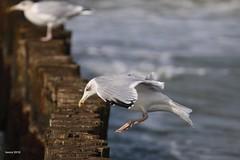 land (modekopp) Tags: eastsee ostsee fischland dars zingst darss