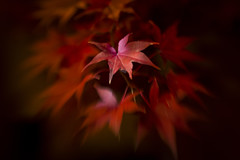 Night time illuminated Japanese maple. (glhs279) Tags: lensbabysweet50 lensbaby sweet50 nikon d600 leaf fall red nighttime japanesemaple tree seeinanewway shallowdepthoffield dof