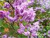 Syringa vulgaris .. (** Janets Photos **) Tags: uk plants flora flowers shrubs trees lilac springtime