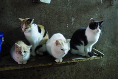 Cats in a farm stable! (nicepicsnapper) Tags: cats animals farm available light prime lens 17mm 18 stable