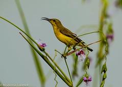 Female olive-backed sunbird (Modestus Lorence) Tags: yishunpond 1dxmarkii 500mmf4isii canon singapore olivebacked sunbird birds