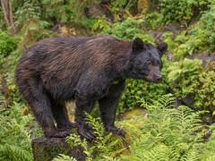 Alaska '12_1179 (Jimmy Vangenechten 76) Tags: geo:lat=5617897419 geo:lon=13188432342 geotagged blackbear ursusamericanus amerikaansezwartebeer wildlife alaska anancreek animal dier