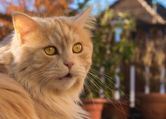 Oh ! (FocusPocus Photography) Tags: linus katze kater cat chat gato tier animal haustier pet oh