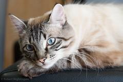 Beautiful features (Robert.W.Nightingale) Tags: cat kitten tiger beautiful lines markings nikon d610 sigma 24105mm f4 dg os hsm | a sigma24105mmf4dgoshsm|a nikond610 blueeyes rest sleep cute f56 iso1600 24105mmf4dgoshsm|a animal pet