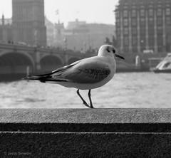 Early Bird (Jess Simen) Tags: london thames uk westminsterbridge blackandwhite blackwhite monochrome streetphotography urbanlife bird