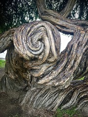 Spiral (kimbar/Thanks for 2.5 million views!) Tags: tree lakemerritt adamspoint twisted california oakland newzealandteatree gnarly trunk spiral