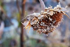 Sunflower Dried