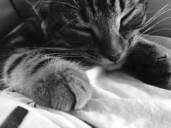 Figaro (Just Caitlin) Tags: paws whiskers takenonphone iphone closedeyes nap sleep cute animal baby kitten cat grey blackandwhite white black