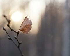 251 Winter light (Helena Johansson 71) Tags: light winter winterlight leaf december swedishnature nikond5500 nikon d5500 macro project365 depthoffield outdoor