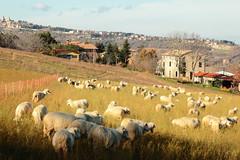 (B Plessi) Tags: macerata italia colline monti azzuri pecore cane pastori cani dog sheep mouton berger shepard marche 2016 troupeau gregge sanginesio