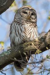 Barred Owl (Jeremy Meyer) Tags: barredowl barred owl bird