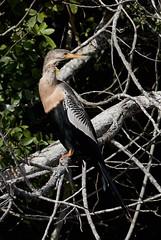 Dec 05 201628282 (Lake Worth) Tags: animal animals bird birds birdwatcher everglades southflorida feathers florida nature outdoor outdoors waterbirds wetlands wildlife wings canoneos1dxmarkii canonef500mmf4lisiiusm