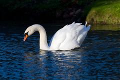 Swan (Mukumbura) Tags: swan muteswan cygnusolor