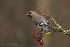 Waxwing (Steven Mcgrath (Glesgastef)) Tags: bohemian waxwwing bird glasgow botanic gardens aboretum west end city scotland uk europe fluidr explore