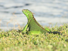 Green Iguana 2-20161129 (Kenneth Cole Schneider) Tags: florida miramar backyard