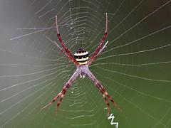 Argiope Anasuja (SivamDesign) Tags: canon eos 550d rebel t2i kiss x4 300mm tele canonef300mmf4lisusm fauna backyard spider signaturespider orbweaverspider araneidae