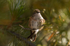Hummingbird fluffs up against the early morning cold