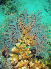 Crown-of-thorns starfish eating coral - Koh Nangyuan, Thailand (bearlike1) Tags: blue nature coral swimming amazing underwater natural starfish eating awesome hard deep scuba diving killer crown thorns predator pest deadly infestation crownofthorns devouring acanthaster planci